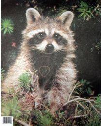 Tierbild Waschbär
